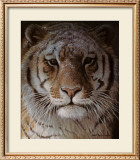 Tiger Portrait Poster by Robert Bateman