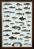 Fish Freshwater Prints
