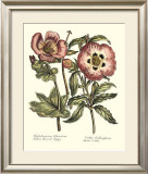 Framboise Floral IV Prints by Syndenham Edwards