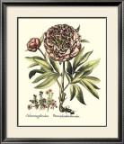 Framboise Floral III Prints by Besler Basilius