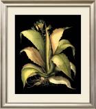 Dramatic Aloe II Posters by Besler Basilius