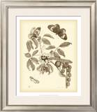 Nature Study in Sepia II Posters by Maria Sibylla Merian