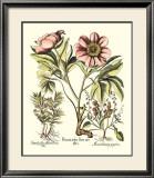 Framboise Floral II Prints by Besler Basilius