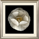 Folded Ranunculus Posters by Neil Seth Levine