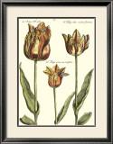 Tulipa I Prints by Crispijn de Passe