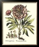 Framboise Floral III Posters by Besler Basilius