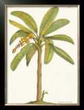 Banana Plant Framed Giclee Print by Georg Dionysius Ehret