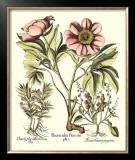 Framboise Floral II Poster by Besler Basilius
