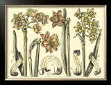 Narcissus in Bloom II Prints by  Langlois