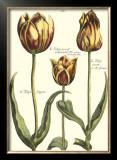 Tulipa II Posters by Crispijn de Passe