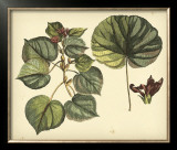 Antique Mangrove Tree Posters by Sir Hans Sloane