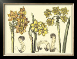 Narcissus in Bloom I Posters by Langlois 
