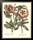 Framboise Floral IV Poster by Syndenham Edwards