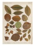 Hornbeam, Hazel, Birch, Barberry and Alder Tree Leaves in Autumn Colours Reproduction procédé giclée