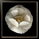 Folded Ranunculus Prints by Neil Seth Levine