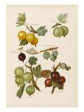 Gooseberries Giclee Print
