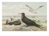 Frigate Bird Giclee Print