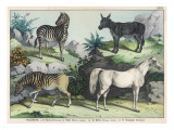 Four Hooved Animals: Horse, Ass, Zebra, and Quagga Giclee Print