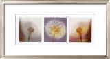 Dandelion Blossom Posters