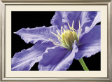 Purple Clematis Posters by Amalia Veralli
