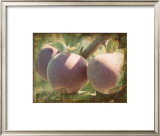 Vintage Apples I Prints by Jason Johnson