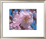 Japanese Cherry Blossom Prints by Yuki Hearn