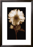 Dahlia II Prints by Caroline Kelly