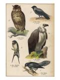 Owl, Jackdaw, Vulture, Swallow, Cuckoo Giclee Print