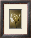 Tulip II Print by Chris Sands