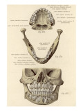 Plate Showing Detail of the Jaw Giclee Print
