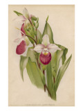 Lady's Slipper Orchid One of Several Species Giclee Print