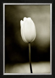 Early Morning Tulip Framed Giclee Print by Jerry Koontz