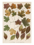 Maple and Spindle Tree Leaves in Autumn Colours Giclee Print