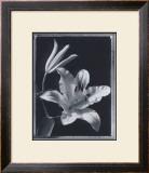 Iris Art by Augusto Camino