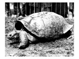 Photograph of a Bauer's Saddleback Tortoise at London Zoo, 1936 Giclee Print