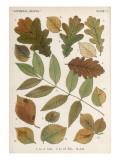 Oak, Elm and Ash Tree Leaves Reproduction procédé giclée