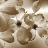 Dogwood Prints by Ann Dahlgren