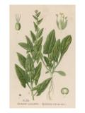 Spinach Giclée-Druck