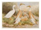 Runner Egg Ducks Giclee Print