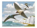 Swallows (Hirundo Rustica) Giclee Print by Robert Gillmor