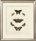 Butterflies III Prints by George Wolfgang Knorr