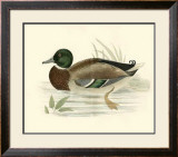 Morris Ducks I Poster by Reverend Francis O. Morris