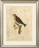 Selby Birds VI Prints by Prideaux John Selby