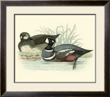 Morris Ducks IV Prints by Reverend Francis O. Morris