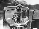 A British Bulldog Stands Proudly Behind a Union Jack Flag on a Car Bonnet Photographic Print