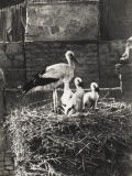 Young Storks and Parent - Baghdad, Iraq Photographic Print