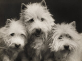 Three Westie Heads All Owned by Miss De Berry Photographic Print