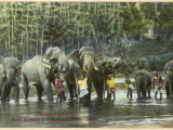 Temple Elephants About to Bathe in the Katugastota River, Sri Lanka Photographic Print