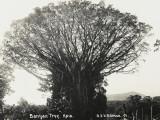 A Fine Banyan Tree, Apia, Samoa Photographic Print