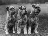 Three Schnauzers Sitting Together Photographic Print